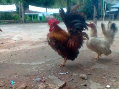 cerita di sidimpuan, hobi teman pelihara ayam kate