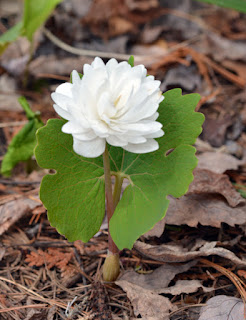 double white sanguinarea canadensis flower