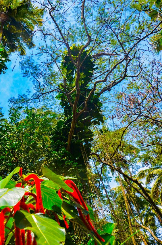 Caribbean Flora