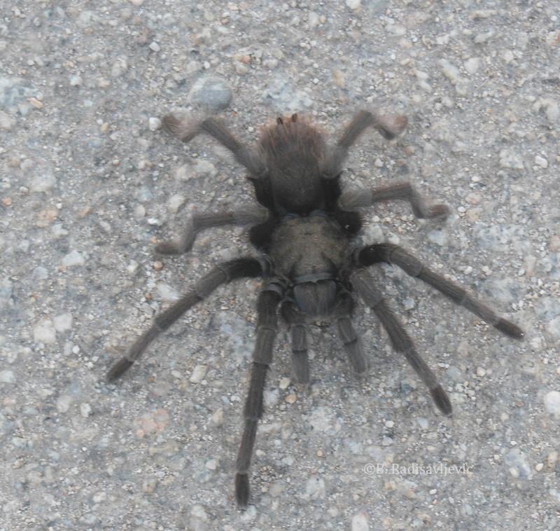 Tarantula, ©B. Radisavljevic