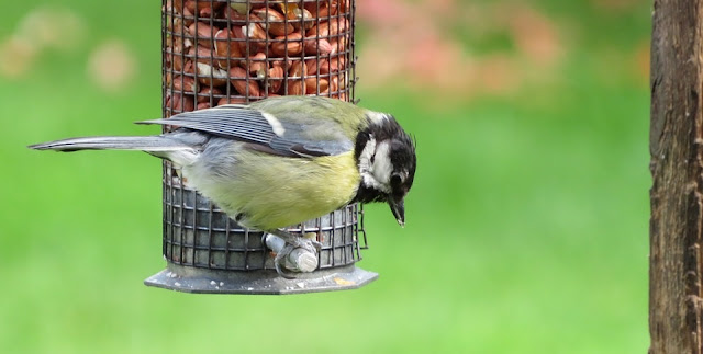 The variation in the great tit's beak is variation, not Darwinian evolution