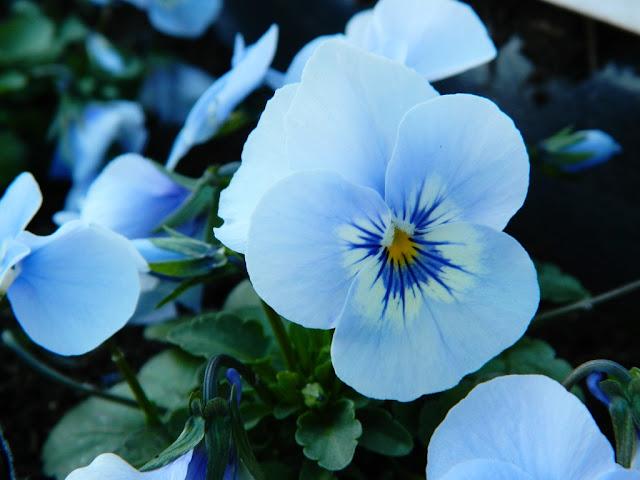 Pansies, Pansy Flower,