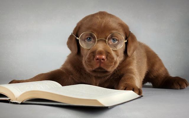 Bruine labrador met bril en boek