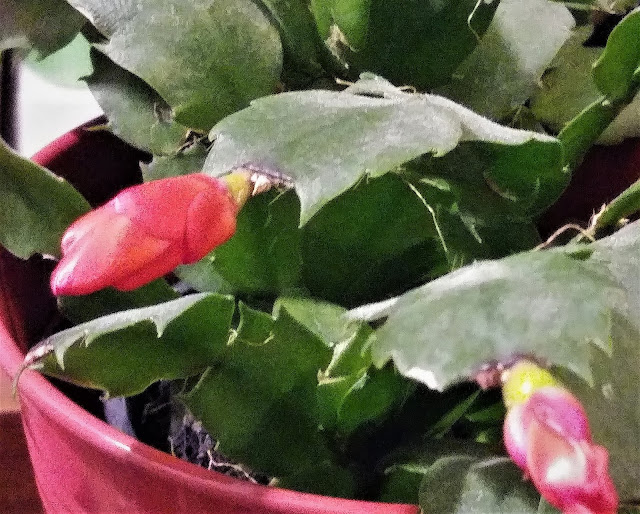 My Christmas cactus is covered in buds that are getting ready to open and bloom.