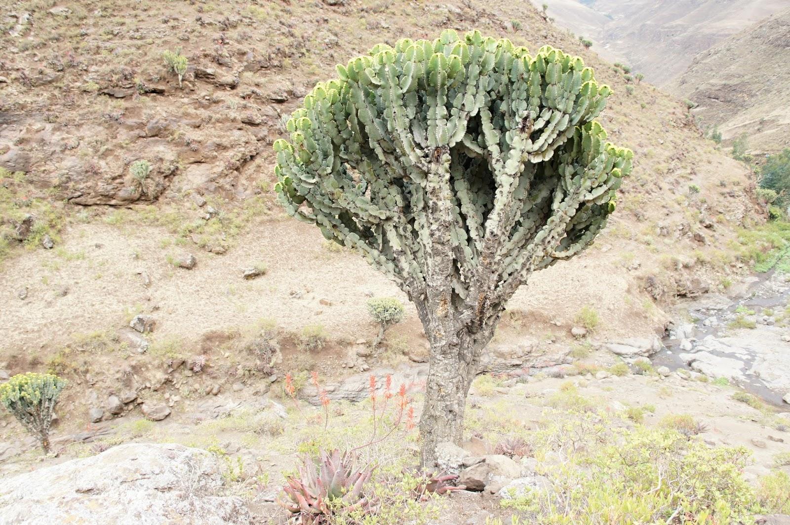 Qwelqwāl (ቍልቋል, Euphorbia candelabrum,