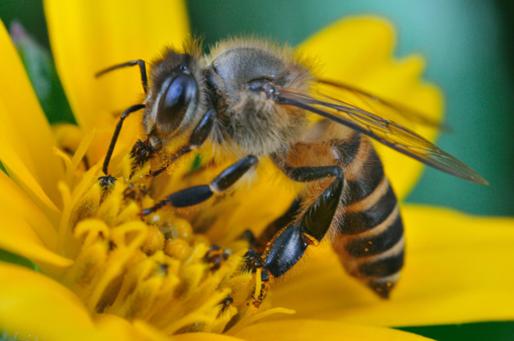 Madu dari lebah apis dorsata setelah diteliti bisa bermanfaat sebagai obat pencegahan osteoporosis.