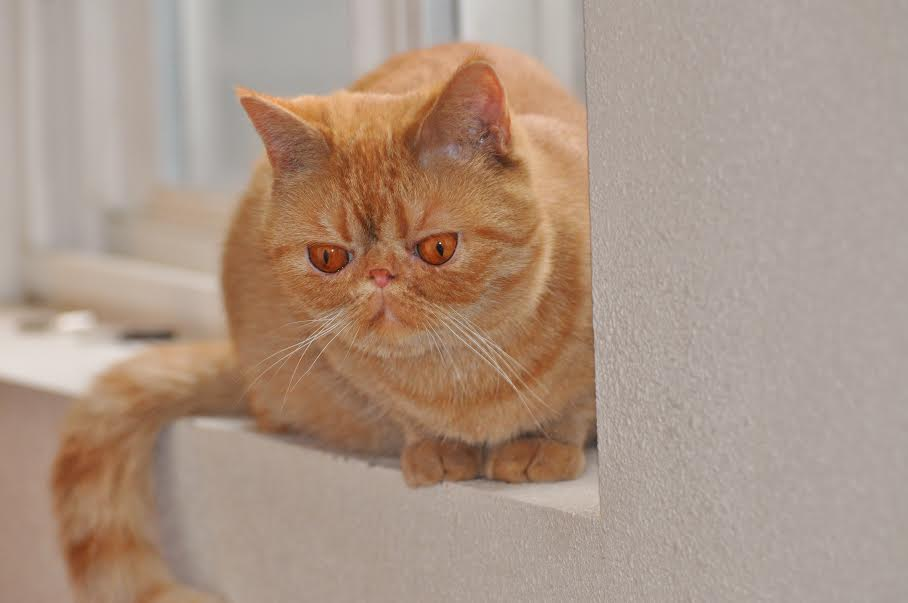 orange and white exotic shorthair cat pictures to pin on