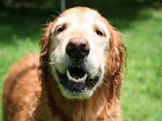 cães com idade sênior