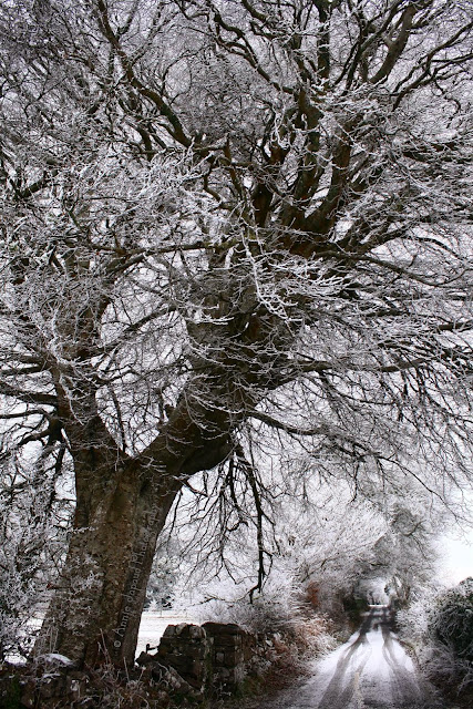 the same giant tree covered in snow