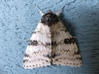 Likénée blanche - Catocala relicta