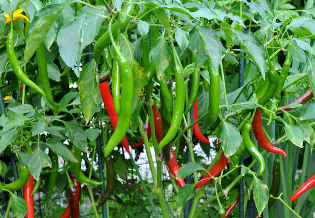 http://www.shikshamitranews.in/2016/04/chillies-protect-from-cancer.html