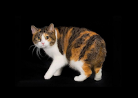 Kucing Manx Lucu Dan Harga Kucing Manx