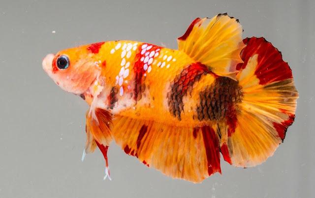 Ikan Cupang Koi Nemo - Ikanhiasku.net