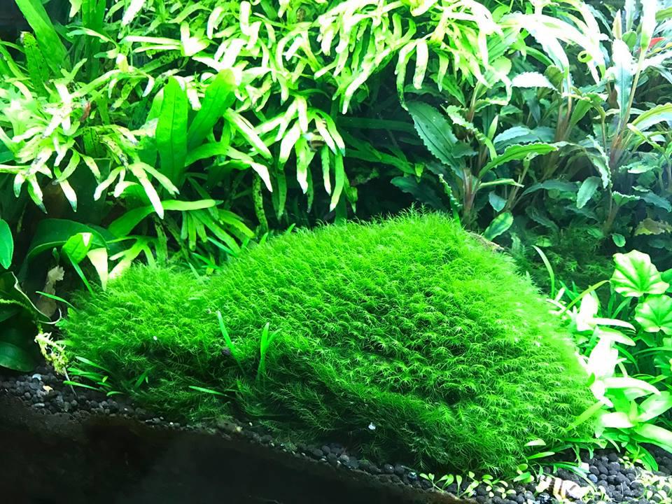 Rêu Us Fiss vô cùng đẹp trong bể thủy sinh