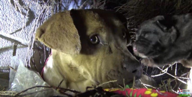 Pitbull φιλάει τα κουτάβια του ένα ένα όσο διασώστες τα μεταφέρουν σε ασφαλές μέρος (Φώτο)