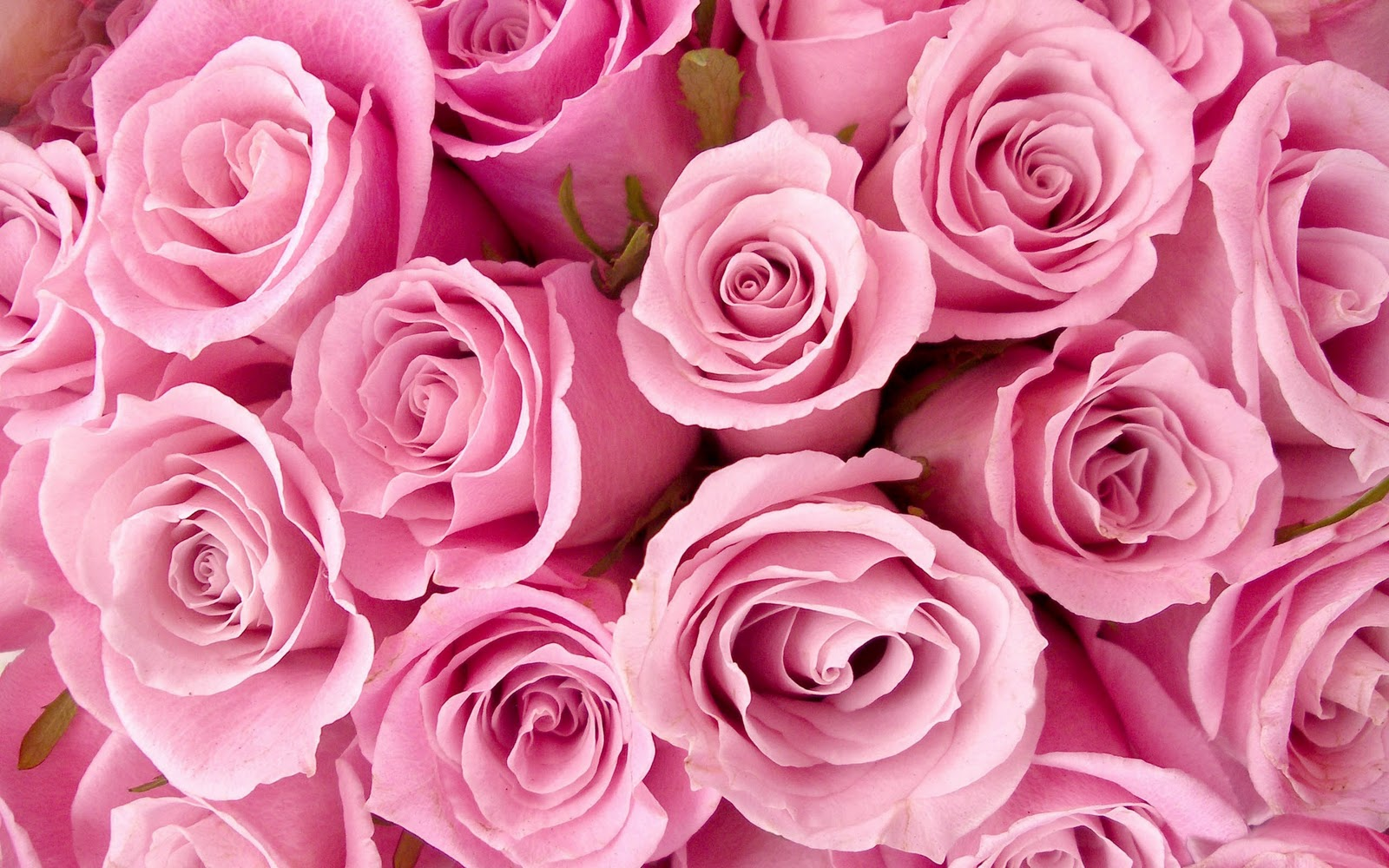 Black And White Wallpapers: Pink Roses Wallpaper
