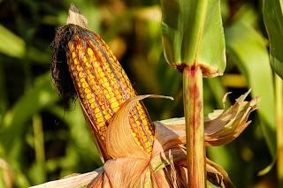 corn-www.healthnote25.com