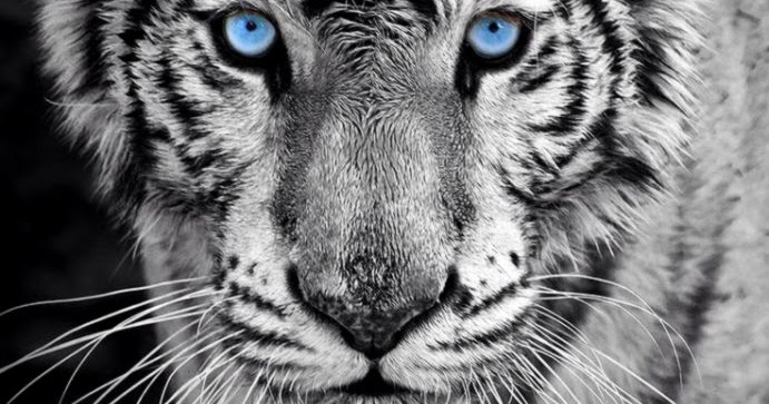 Baby tiger iphone wallpaper - photo#50