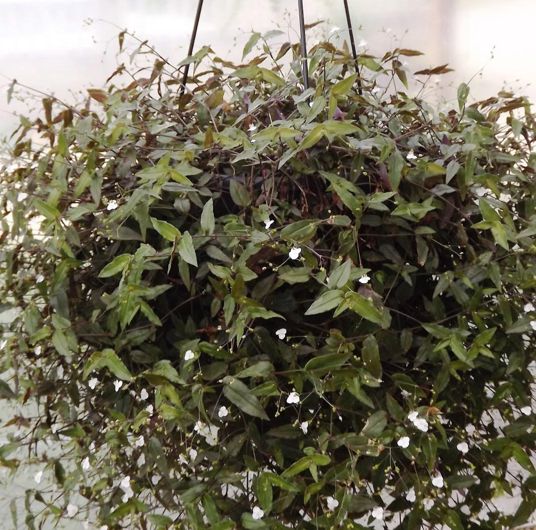 Conhecido Orquídeas Rita: Véu de Noiva US38