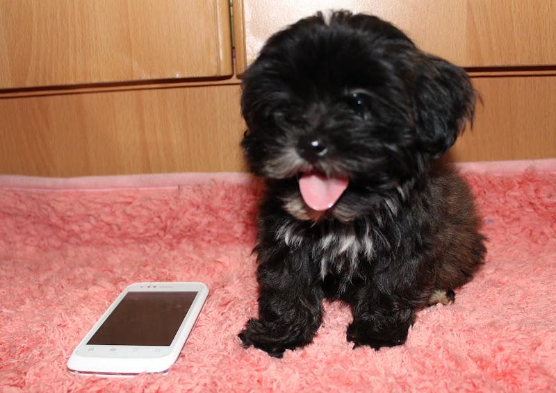 Real Asian Beauty: Meet my Shihpoo Puppy!  Real Asian Beau...