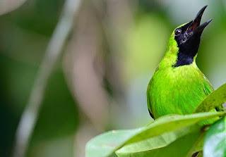 Mengenal Jenis Burung Cucak Hijau