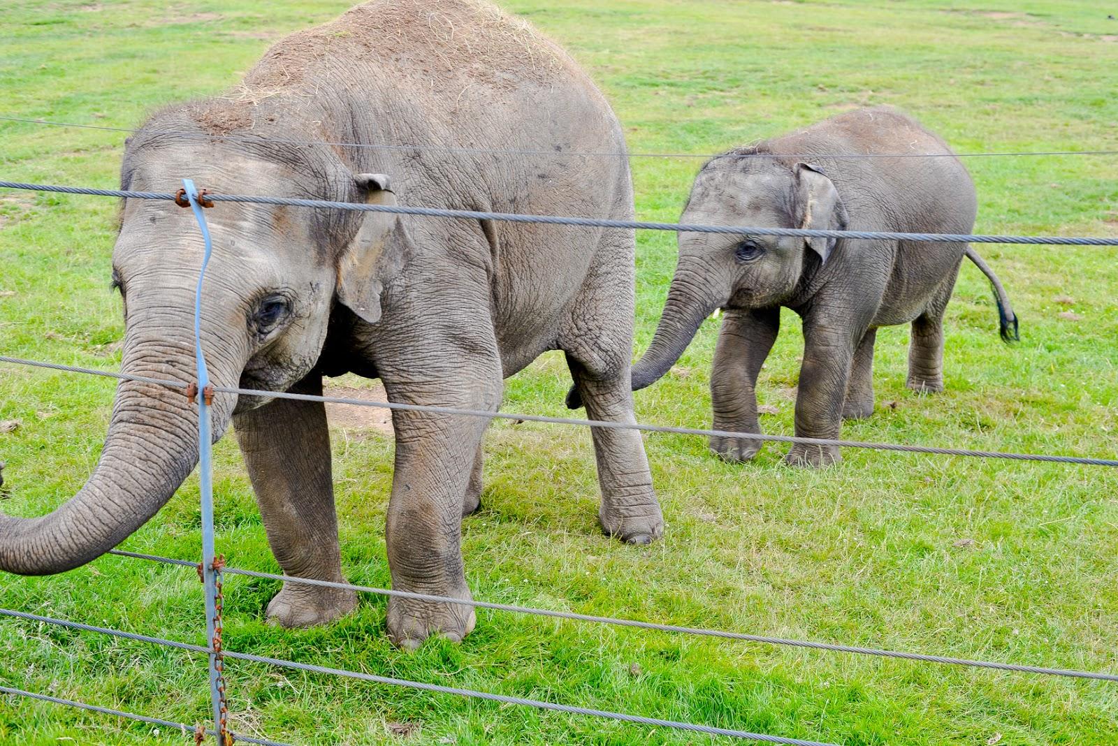 elephants whipsnade zoo
