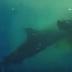VÍDEO: Tubarão é filmado devorando vaca no meio do oceano, assista