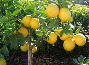 jual-bibit-buah-lemon.jpg