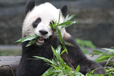 imagenes de osos pandas comiendo bambu