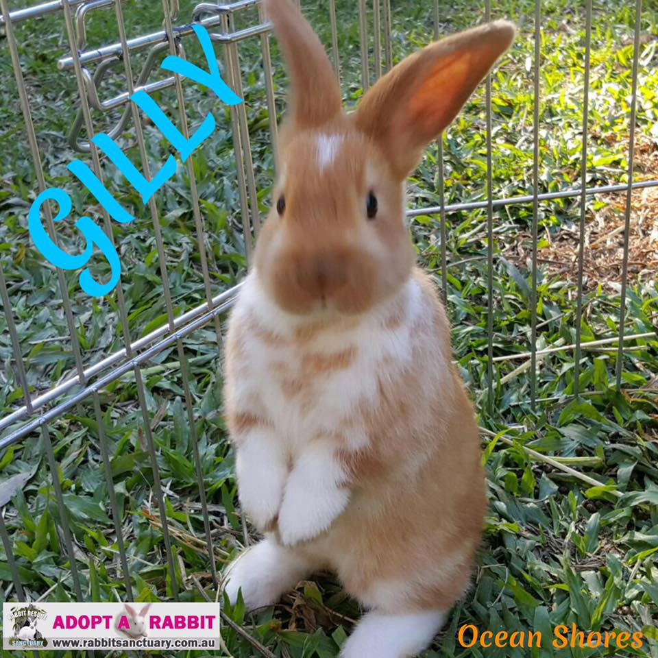 Photo Of Gilly A Baby Boy Rabbit For Adoption