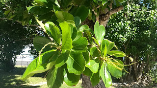 Terminalia catappa (Indian almond) tree tropical leaves invasive