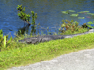 alligators a long the bike trail at Shark Valley