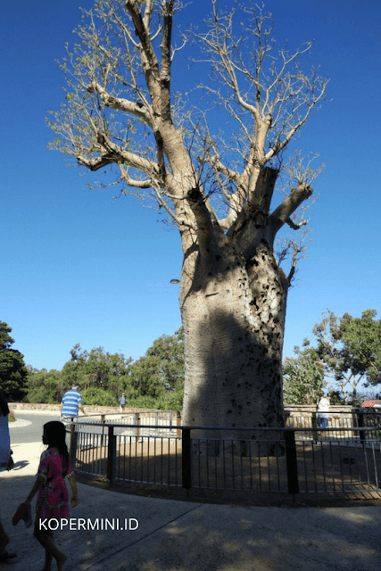 Pohon berusia 750 tahun