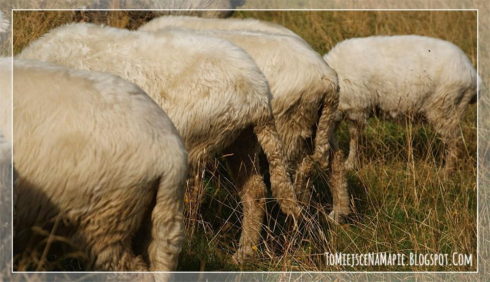 owca, tatry, zakopane