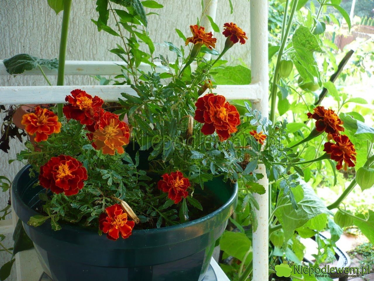 Niepodlewam Kiedy Wynosić Kwiaty Na Balkon