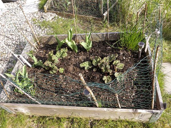 rabarber, odlingslåda
