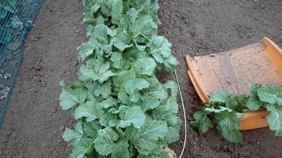 収穫中のカラシナ