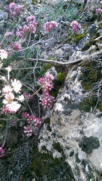 primavera 2016 en la Umbría del Factor (Yecla)