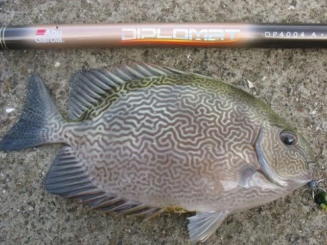 Ikan Baronang BATIK