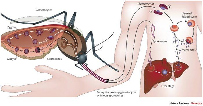 Ciri Ciri,Gejala,Penyebab Penyakit Malaria & Obat Herbalnya