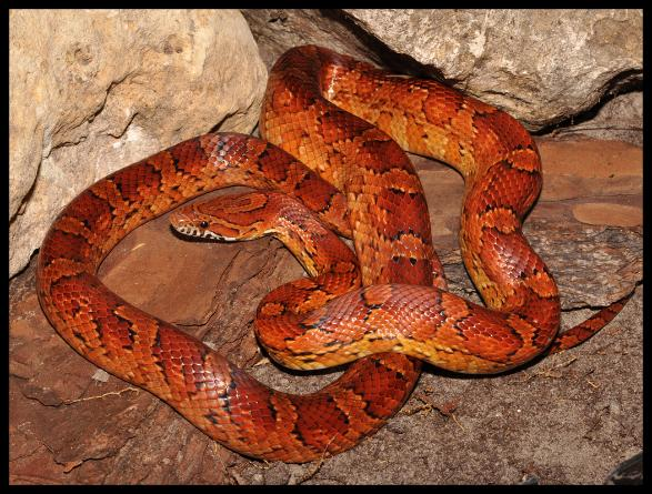 b8f7caaf9 Florida's Non-poisonous Snakes | Phillip's Natural World