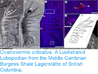 http://sciencythoughts.blogspot.co.uk/2017/02/ovatiovermis-cribratus-luolishanid.html