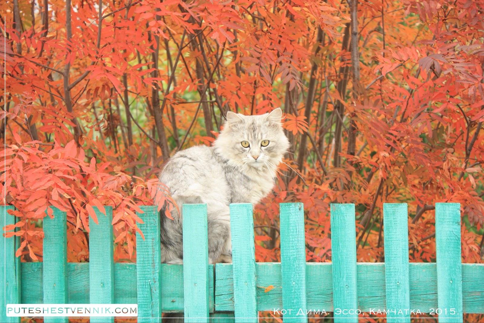 Осень и кот на заборе в Эссо