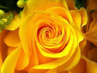 Halvány-Sárga rózsa