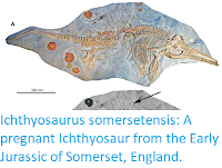 https://sciencythoughts.blogspot.com/2017/09/ichthyosaurus-somersetensis-pregnant.html