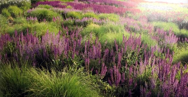 Rio de Salvia en el jardín de Lurie Garden | Piet Oudolf | Salvia River