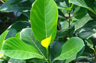 Benefits of Jackfruit Leaves