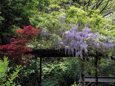 Fuji (Wisteria floribunda) flowers: Engaku-ji