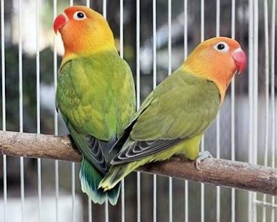 Masa Istirahat untuk Lovebird