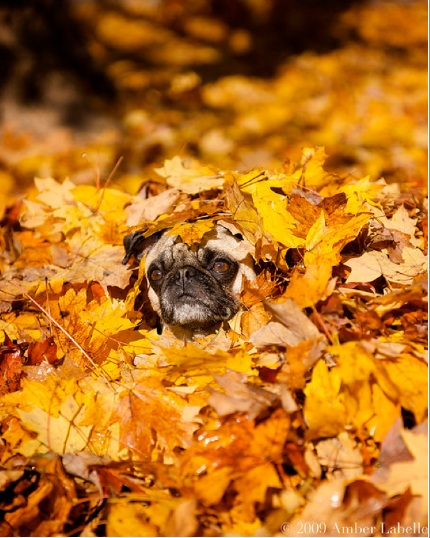 Fall Leaves Dancing Wallpaper I Have Seen The Whole Of The Internet Autumn Pug
